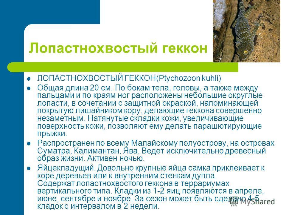 Лопастнохвостый геккон ЛОПАСТНОХВОСТЫЙ ГЕККОН(Ptychozoon kuhli) Общая длина 20 см. По бокам тела, головы, а также между пальцами и по краям ног расположены небольшие округлые лопасти, в сочетании с защитной окраской, напоминающей покрытую лишайником
