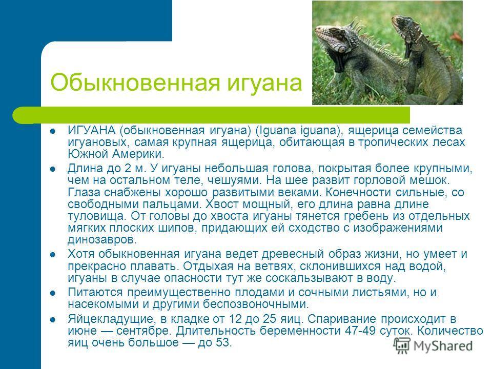 Обыкновенная игуана ИГУАНА (обыкновенная игуана) (Iguana iguana), ящерица семейства игуановых, самая крупная ящерица, обитающая в тропических лесах Южной Америки. Длина до 2 м. У игуаны небольшая голова, покрытая более крупными, чем на остальном теле