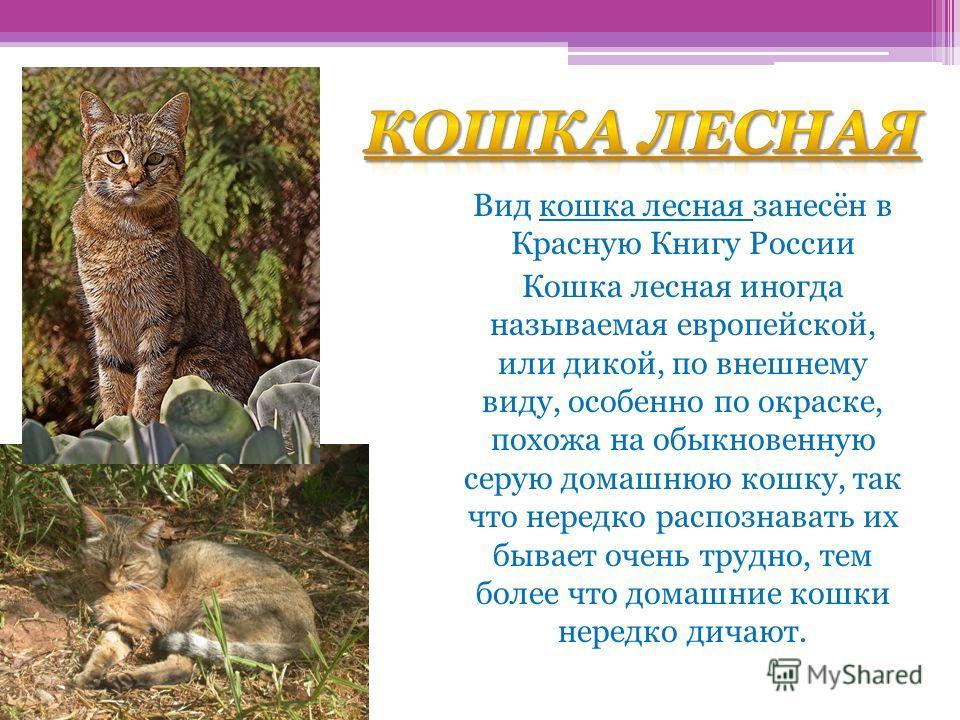 Кошка лесная Вид кошка лесная занесён в Красную Книгу России Кошка лесная иногда называемая европейской, или дикой, по внешнему виду, особенно по окраске, похожа на обыкновенную серую домашнюю кошку, так что нередко распознавать их бывает очень трудн
