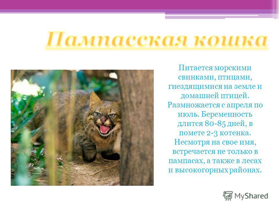 Пампасская кошка Питается морскими свинками, птицами, гнездящимися на земле и домашней птицей. Размножается с апреля по июль. Беременность длится 80-85 дней, в помете 2-3 котенка. Несмотря на свое имя, встречается не только в пампасах, а также в леса
