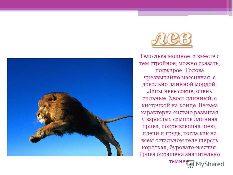 лев Тело льва мощное, а вместе с тем стройное, можно сказать, поджарое. Голова чрезвычайно массивная, с довольно длинной мордой. Лапы невысокие, очень сильные. Хвост длинный, с кисточкой на конце. Весьма характерна сильно развитая у взрослых самцов д