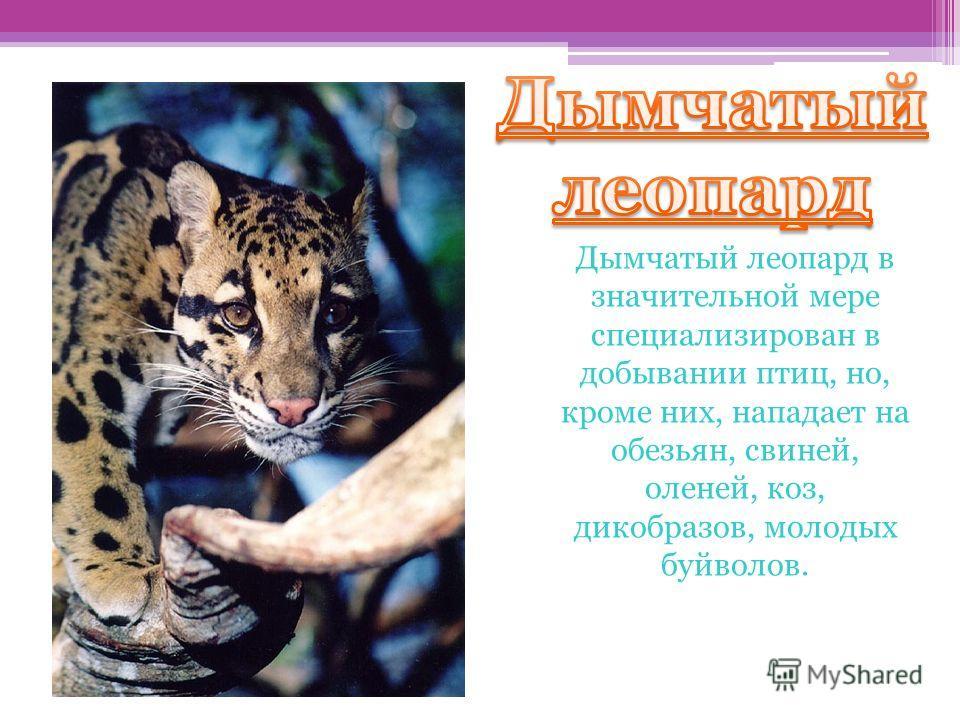 Дымчатый леопард Дымчатый леопард в значительной мере специализирован в добывании птиц, но, кроме них, нападает на обезьян, свиней, оленей, коз, дикобразов, молодых буйволов.