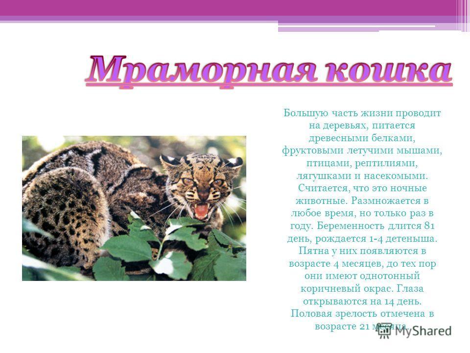 Мраморная кошка Большую часть жизни проводит на деревьях, питается древесными белками, фруктовыми летучими мышами, птицами, рептилиями, лягушками и насекомыми. Считается, что это ночные животные. Размножается в любое время, но только раз в году. Бере