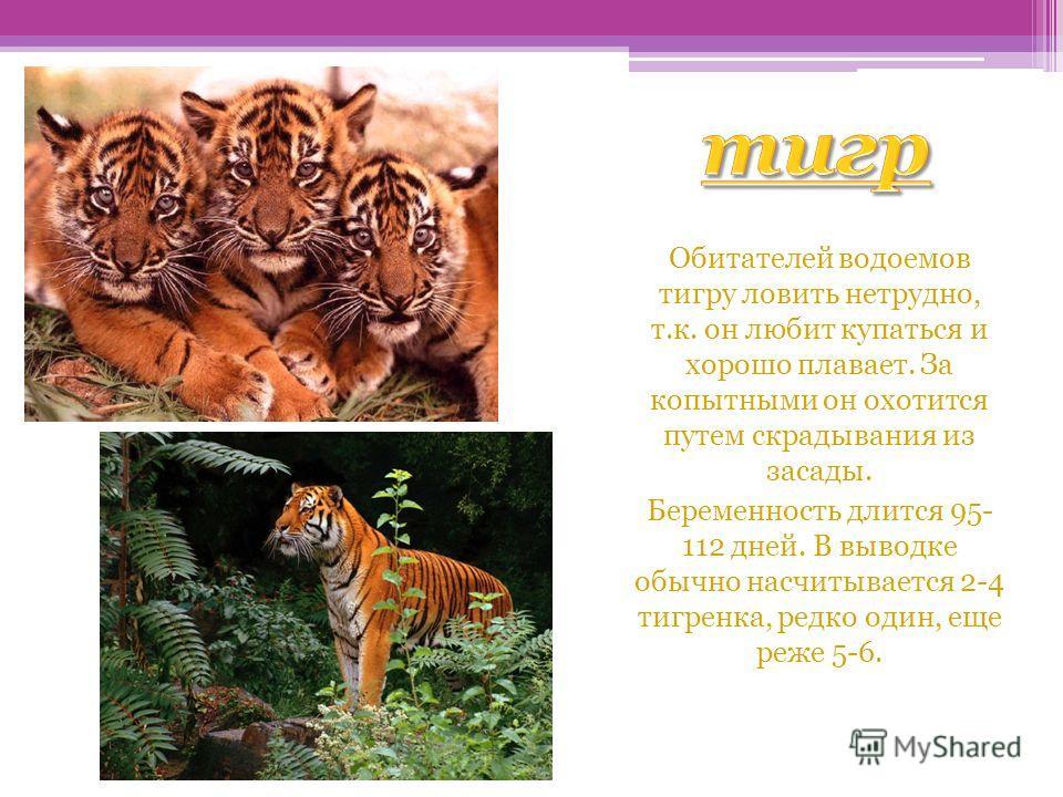 тигр Обитателей водоемов тигру ловить нетрудно, т.к. он любит купаться и хорошо плавает. За копытными он охотится путем скрадывания из засады. Беременность длится 95- 112 дней. В выводке обычно насчитывается 2-4 тигренка, редко один, еще реже 5-6.