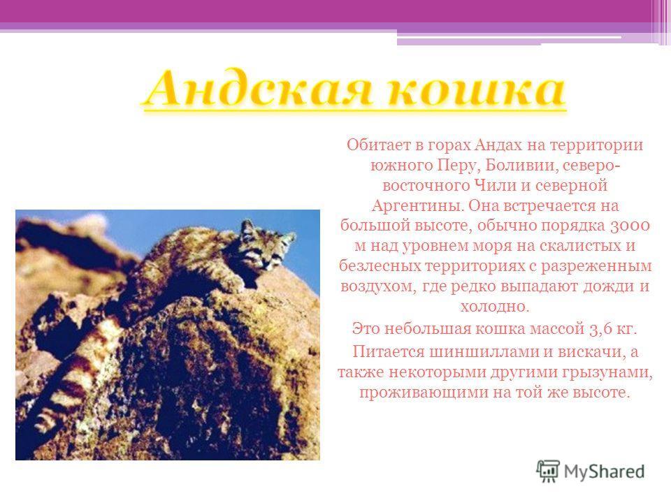 Андская кошка Обитает в горах Андах на территории южного Перу, Боливии, северо- восточного Чили и северной Аргентины. Она встречается на большой высоте, обычно порядка 3000 м над уровнем моря на скалистых и безлесных территориях с разреженным воздухо