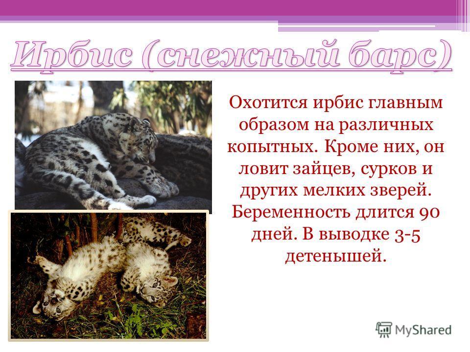 Ирбис (снежный барс) Охотится ирбис главным образом на различных копытных. Кроме них, он ловит зайцев, сурков и других мелких зверей. Беременность длится 90 дней. В выводке 3-5 детенышей.