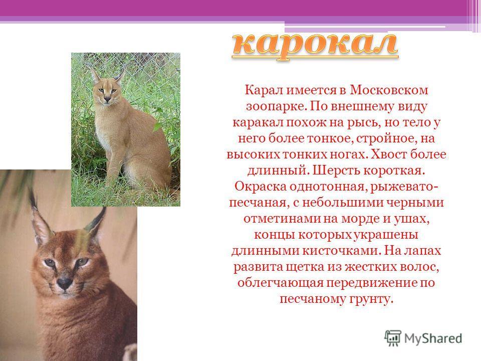 Кар Карал имеется в Московском зоопарке. По внешнему виду каракал похож на рысь, но тело у него более тонкое, стройное, на высоких тонких ногах. Хвост более длинный. Шерсть короткая. Окраска однотонная, рыжевато- песчаная, с небольшими черными отмети