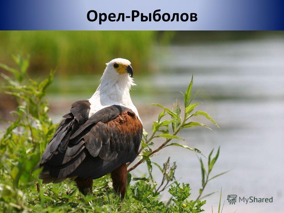 Орел-Рыболов