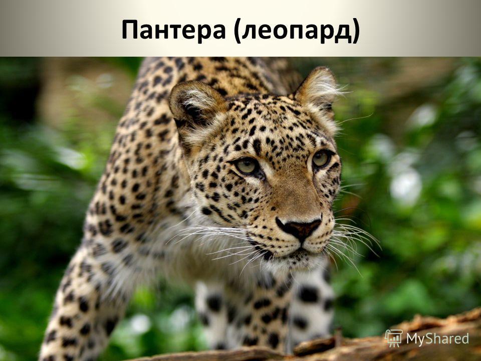 Пантера (леопард)