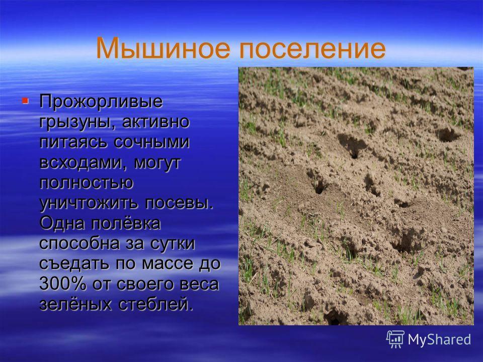 Мышиное поселение Прожорливые грызуны, активно питаясь сочными всходами, могут полностью уничтожить посевы. Одна полёвка способна за сутки съедать по массе до 300% от своего веса зелёных стеблей. Прожорливые грызуны, активно питаясь сочными всходами,