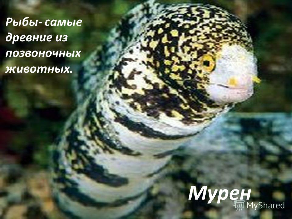 Мурен. Рыбы- самые древние из позвоночных животных. Мурен