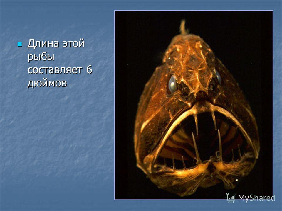 Длина этой рыбы составляет 6 дюймов Длина этой рыбы составляет 6 дюймов