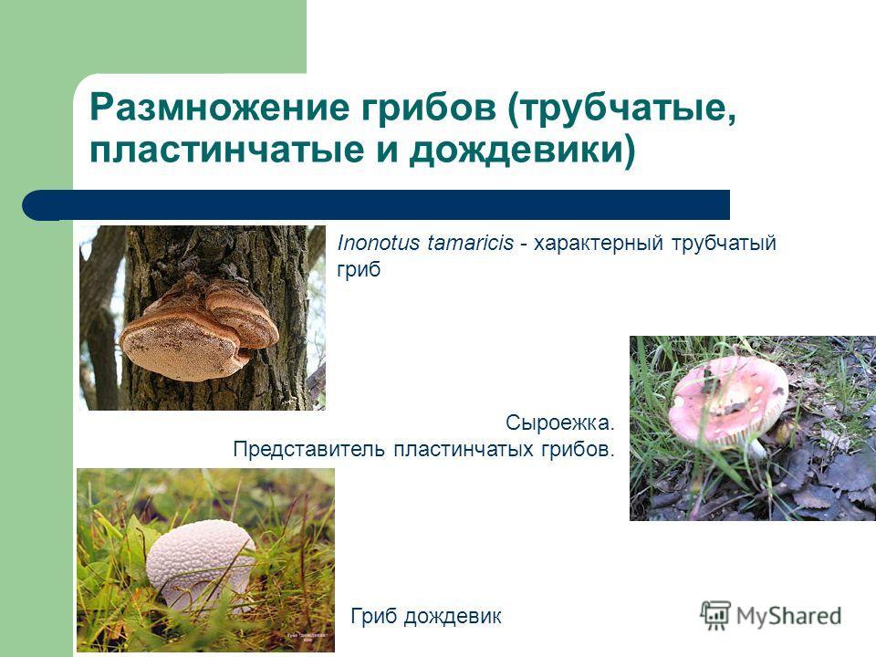 Размножение грибов (трубчатые, пластинчатые и дождевики) Inonotus tamaricis - характерный трубчатый гриб Сыроежка. Представитель пластинчатых грибов. Гриб дождевик