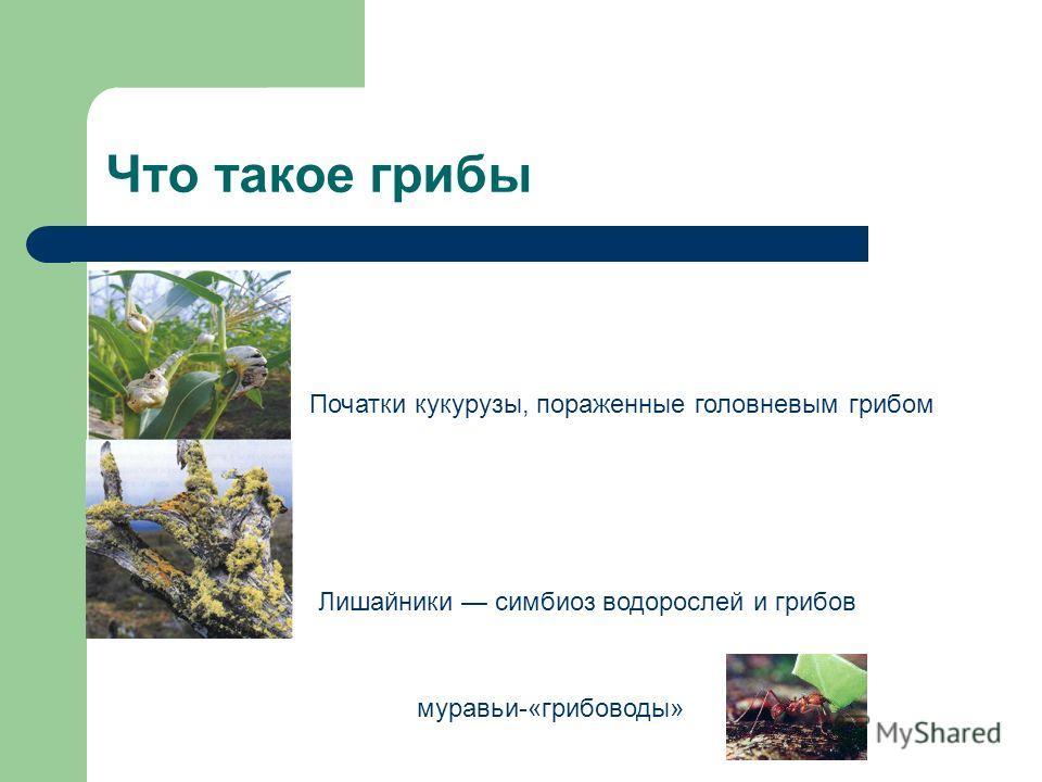 Что такое грибы Початки кукурузы, пораженные головневым грибом Лишайники симбиоз водорослей и грибов муравьи-«грибоводы»
