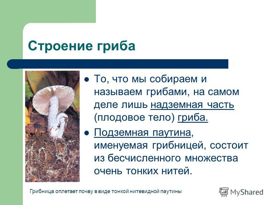 Строение гриба То, что мы собираем и называем грибами, на самом деле лишь надземная часть (плодовое тело) гриба. Подземная паутина, именуемая грибницей, состоит из бесчисленного множества очень тонких нитей. Грибница оплетает почву в виде тонкой ните