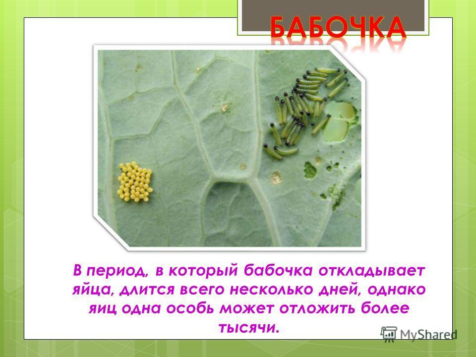 В период, в который бабочка откладывает яйца, длится всего несколько дней, однако яиц одна особь может отложить более тысячи.