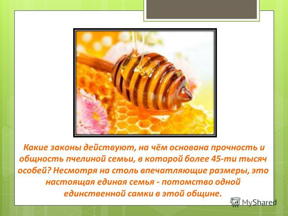 Какие законы действуют, на чём основана прочность и общность пчелиной семьи, в которой более 45-ти тысяч особей? Несмотря на столь впечатляющие размеры, это настоящая единая семья - потомство одной единственной самки в этой общине.