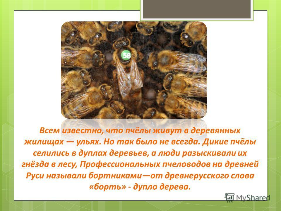 Всем известно, что пчёлы живут в деревянных жилищах ульях. Но так было не всегда. Дикие пчёлы селились в дуплах деревьев, а люди разыскивали их гнёзда в лесу, Профессиональных пчеловодов на древней Руси называли бортникамиот древнерусского слова «бор