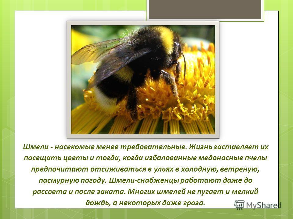 Шмели - насекомые менее требовательные. Жизнь заставляет их посещать цветы и тогда, когда избалованные медоносные пчелы предпочитают отсиживаться в ульях в холодную, ветреную, пасмурную погоду. Шмели-снабженцы работают даже до рассвета и после заката