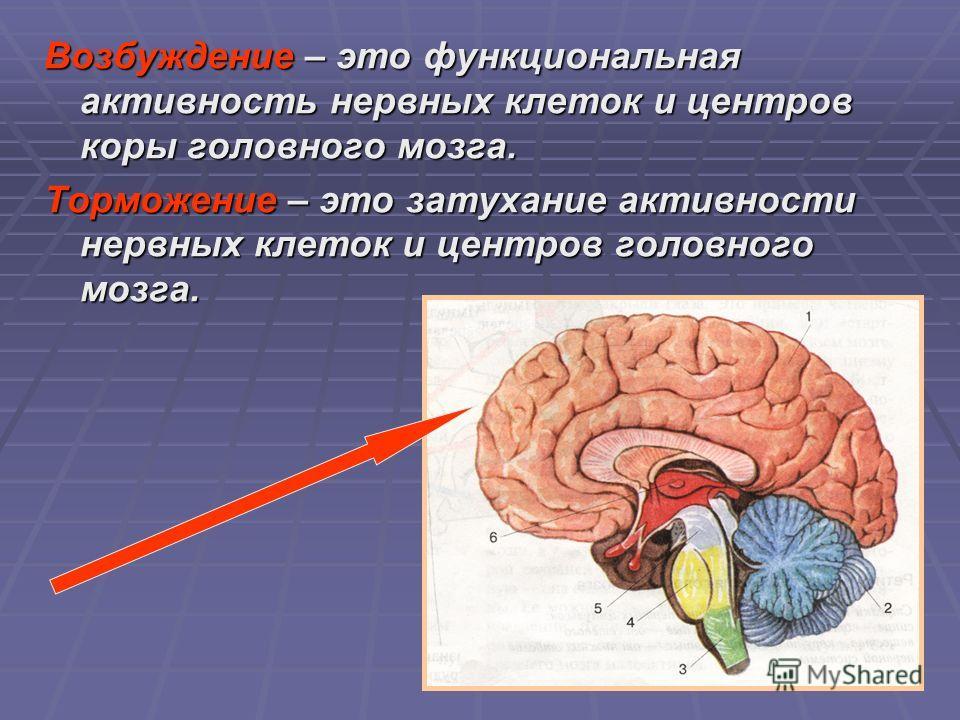 Возбуждение – это функциональная активность нервных клеток и центров коры головного мозга. Торможение – это затухание активности нервных клеток и центров головного мозга.