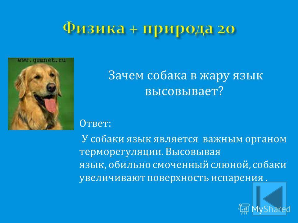 Зачем собака в жару язык высовывает? Ответ: У собаки язык является важным органом терморегуляции. Высовывая язык, обильно смоченный слюной, собаки увеличивают поверхность испарения.