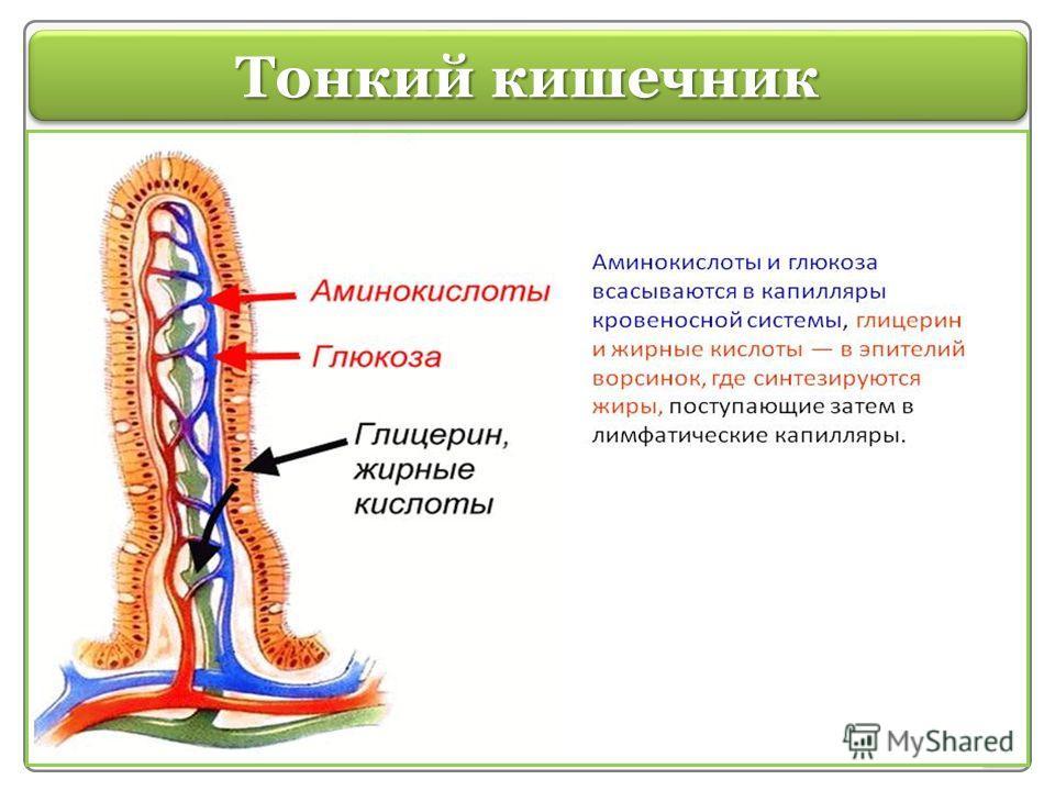 Тонкий кишечник Тонкая кишка Здесь происходит окончательное переваривание пищи и всасывание питательных веществ в кровь за счёт ворсинок, расположенных на её внутренней поверхности. Длина тонкой кишки около 4,5 м. Начальный отдел тонкого кишечника –