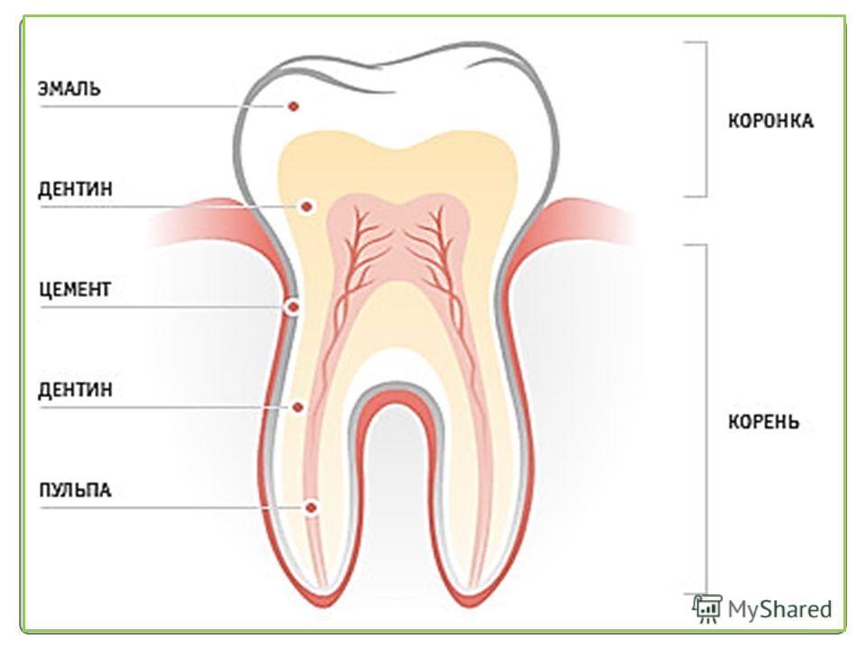 ЗубыЗубы Зубы образования, состоящие в основном из твердых тканей, предназначены для первичной механической обработки пищи. Зубная формула Обозначает зубы одной стороны обеих челюстей: 2 резца, 1 клык, 2 малых и 3 больших коренных 2 1 2 3