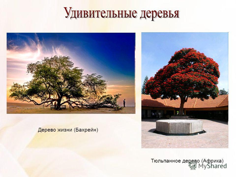 Дерево жизни (Бахрейн) Тюльпанное дерево (Африка)