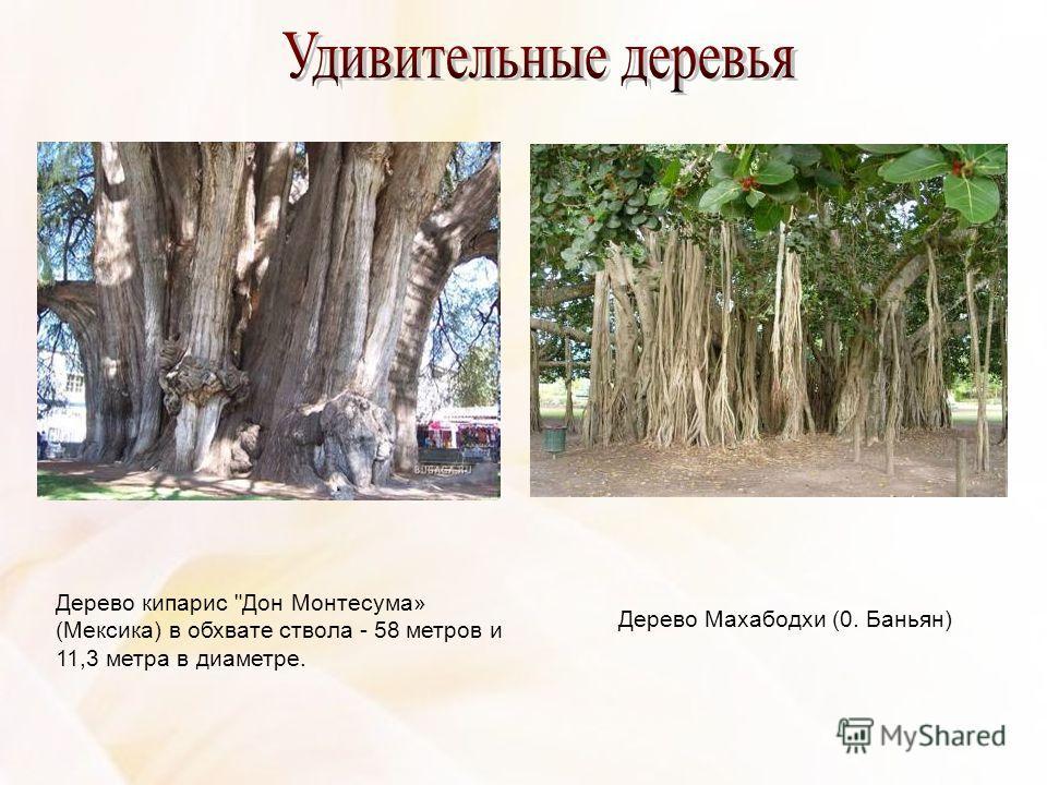 Дерево кипарис Дон Монтесума» (Мексика) в обхвате ствола - 58 метров и 11,3 метра в диаметре. Дерево Махабодхи (0. Баньян)