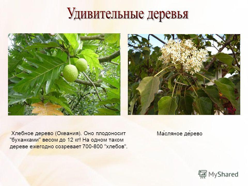 Хлебное дерево (Океания). Оно плодоносит буханками весом до 12 кг! На одном таком дереве ежегодно созревает 700-800 хлебов. Ма́сляное де́рево