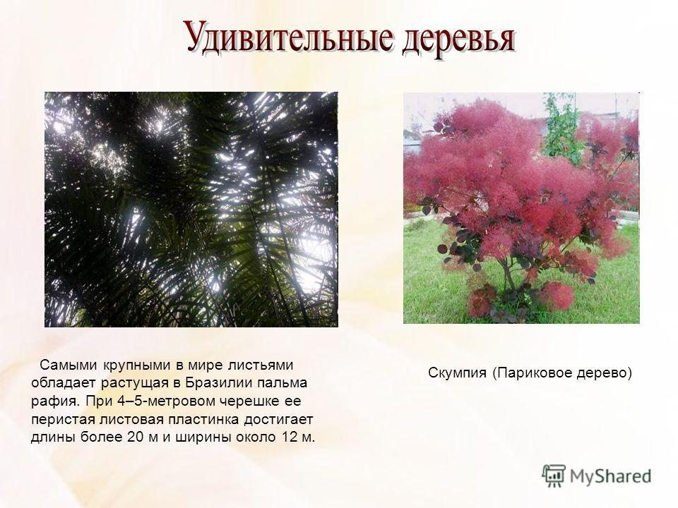 Самыми крупными в мире листьями обладает растущая в Бразилии пальма рафия. При 4–5-метровом черешке ее перистая листовая пластинка достигает длины более 20 м и ширины около 12 м. Скумпия (Париковое дерево)