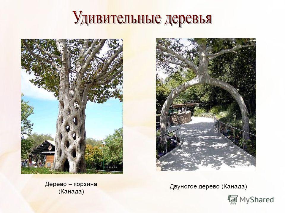 Дерево – корзина (Канада) Двуногое дерево (Канада)