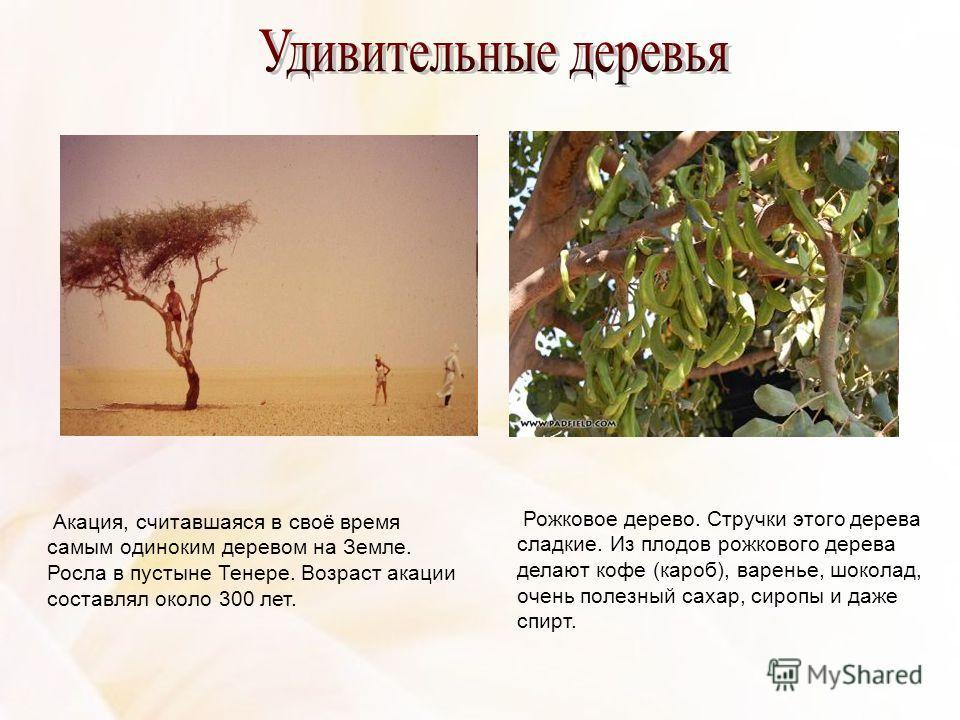 Акация, считавшаяся в своё время самым одиноким деревом на Земле. Росла в пустыне Тенере. Возраст акации составлял около 300 лет. Рожковое дерево. Стручки этого дерева сладкие. Из плодов рожкового дерева делают кофе (кароб), варенье, шоколад, очень п