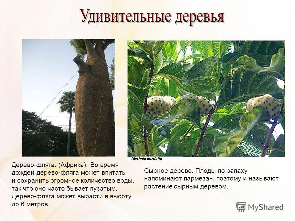Дерево-фляга. (Африка). Во время дождей дерево-фляга может впитать и сохранить огромное количество воды, так что оно часто бывает пузатым. Дерево-фляга может вырасти в высоту до 6 метров. Сырное дерево. Плоды по запаху напоминают пармезан, поэтому и