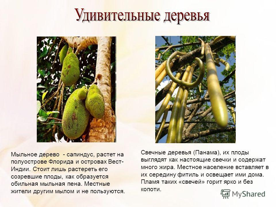 Мыльное дерево - сапиндус, растет на полуострове Флорида и островах Вест- Индии. Стоит лишь растереть его созревшие плоды, как образуется обильная мыльная пена. Местные жители другим мылом и не пользуются. Свечные деревья (Панама), их плоды выглядят