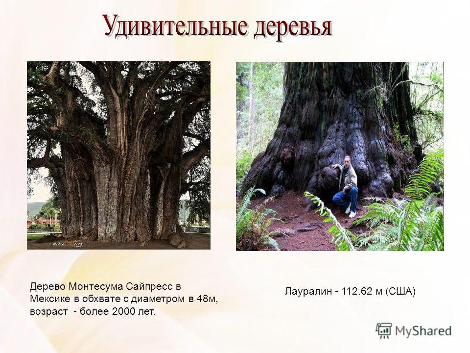 Дерево Монтесума Сайпресс в Мексике в обхвате с диаметром в 48м, возраст - более 2000 лет. Лауралин - 112.62 м (США)