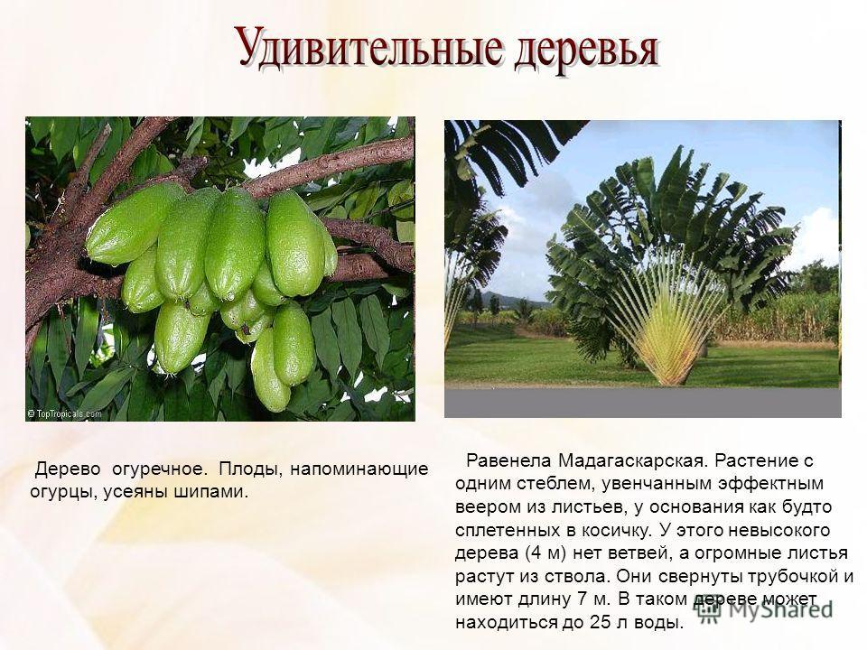 Дерево огуречное. Плоды, напоминающие огурцы, усеяны шипами. Равенела Мадагаскарская. Растение с одним стеблем, увенчанным эффектным веером из листьев, у основания как будто сплетенных в косичку. У этого невысокого дерева (4 м) нет ветвей, а огромны