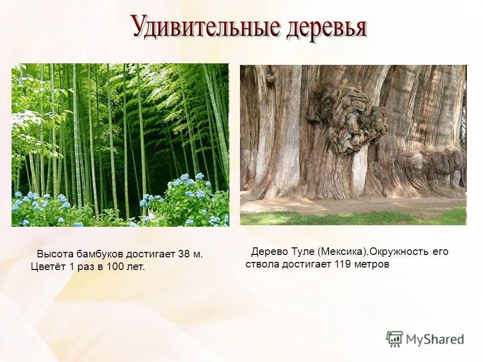 Дерево Туле (Мексика).Окружность его ствола достигает 119 метров Высота бамбуков достигает 38 м. Цветёт 1 раз в 100 лет.
