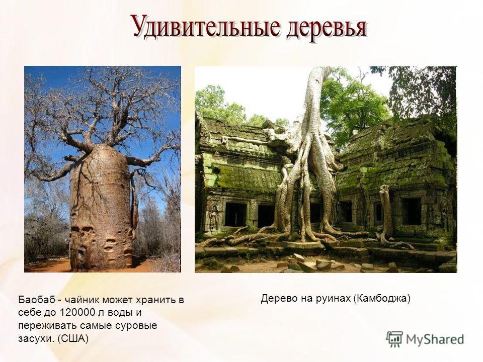 Баобаб - чайник может хранить в себе до 120000 л воды и переживать самые суровые засухи. (США) Дерево на руинах (Камбоджа)