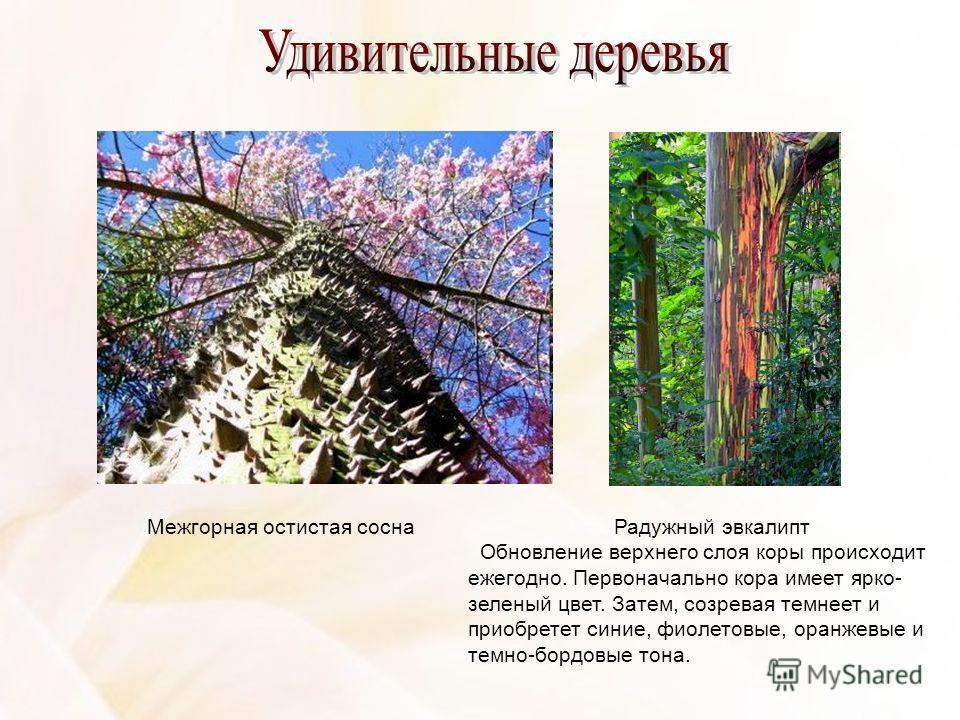 Межгорная остистая сосна Радужный эвкалипт Обновление верхнего слоя коры происходит ежегодно. Первоначально кора имеет ярко- зеленый цвет. Затем, созревая темнеет и приобретет синие, фиолетовые, оранжевые и темно-бордовые тона.