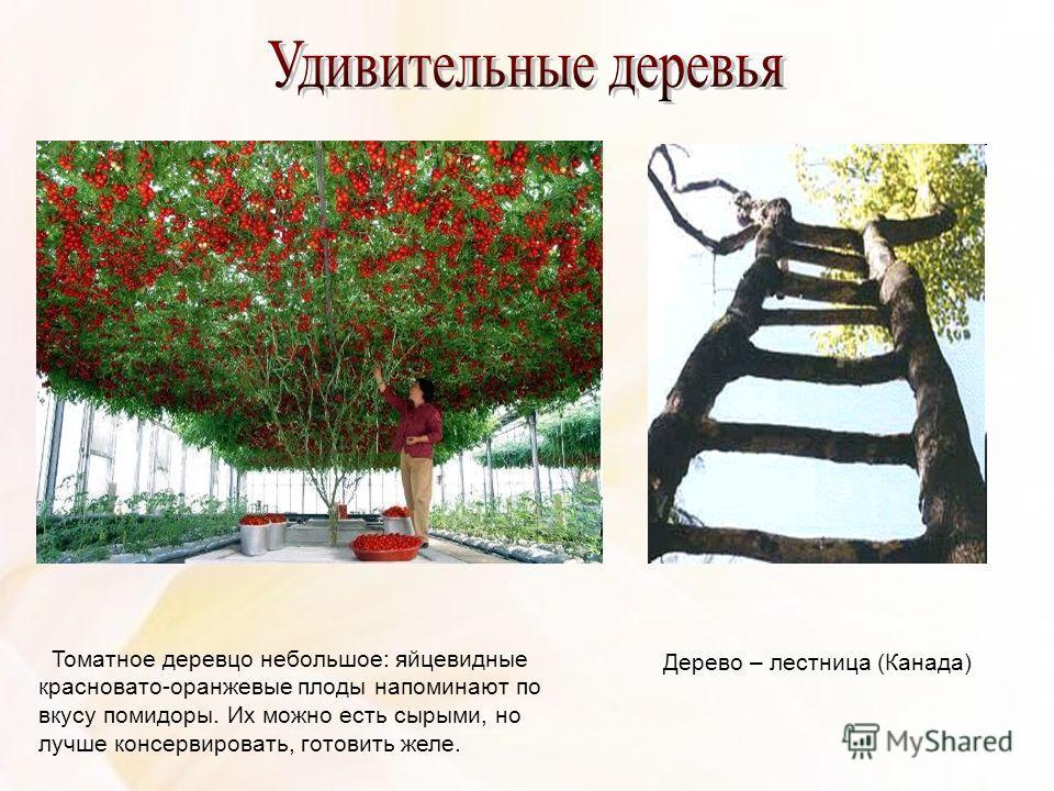 Томатное деревцо небольшое: яйцевидные красновато-оранжевые плоды напоминают по вкусу помидоры. Их можно есть сырыми, но лучше консервировать, готовить желе. Дерево – лестница (Канада)
