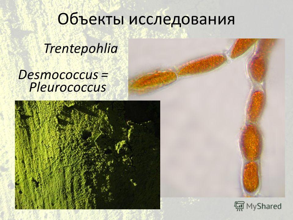 Объекты исследования Desmococcus = Pleurococcus Trentepohlia