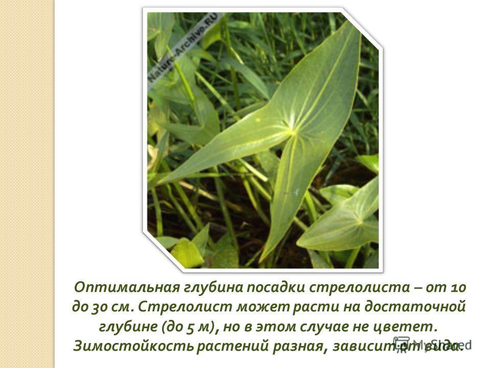Оптимальная глубина посадки стрелолиста – от 10 до 30 см. Стрелолист может расти на достаточной глубине ( до 5 м ), но в этом случае не цветет. Зимостойкость растений разная, зависит от вида.