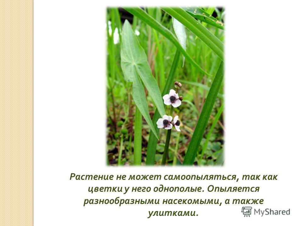 Растение не может самоопыляться, так как цветки у него однополые. Опыляется разнообразными насекомыми, а также улитками.