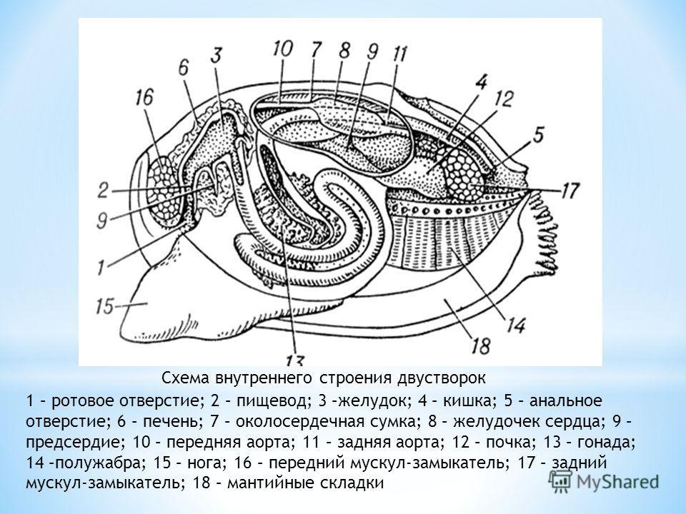 1 – ротовое отверстие; 2 – пищевод; 3 –желудок; 4 – кишка; 5 – анальное отверстие; 6 – печень; 7 – околосердечная сумка; 8 – желудочек сердца; 9 – предсердие; 10 – передняя аорта; 11 – задняя аорта; 12 – почка; 13 – гонада; 14 –полужабра; 15 – нога;