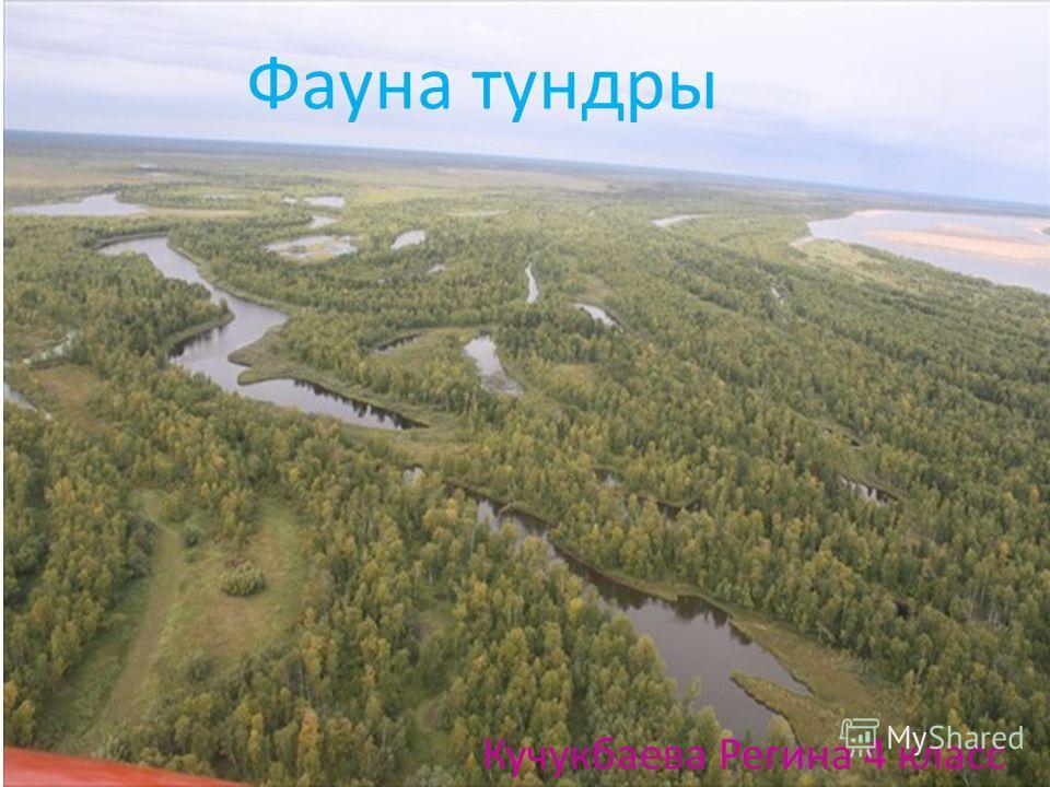 Фауна тундры Кучукбаева Регина 4 класс