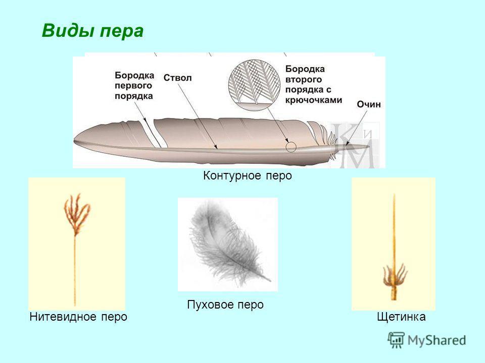 Контурное перо Пуховое перо Нитевидное пероЩетинка Виды пера
