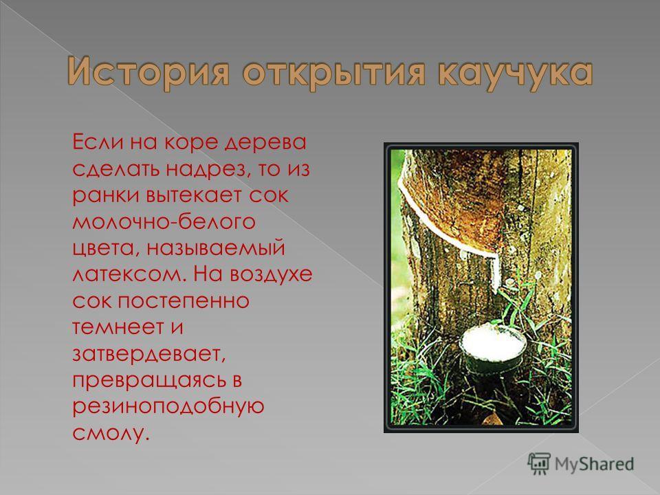 Если на коре дерева сделать надрез, то из ранки вытекает сок молочно-белого цвета, называемый латексом. На воздухе сок постепенно темнеет и затвердевает, превращаясь в резиноподобную смолу.