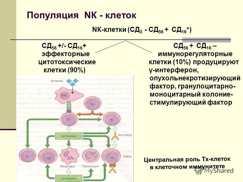 Популяция NК - клеток NК-клетки (СД 3 - СД 56 + СД 16 + ) СД 56 +/- СД 16 + СД 56 + СД 16 – эффекторные иммунорегуляторные цитотоксические клетки (10%) продуцируют клетки (90%) γ-интерферон, опухольнекротизирующий фактор, гранулоцитарно- моноцитарный