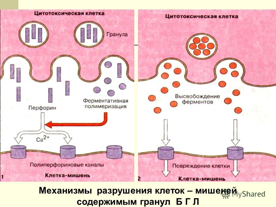 Механизмы разрушения клеток – мишеней содержимым гранул Б Г Л